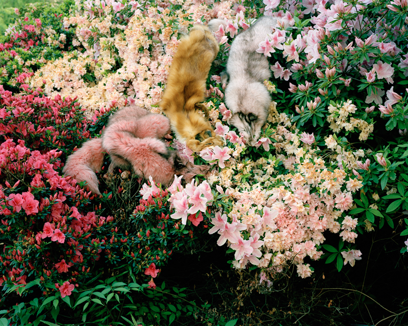 Untitled(Foxes On Azaleas)